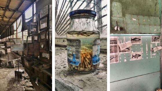 Eksperymentalna ferma norek w Czarnobylu