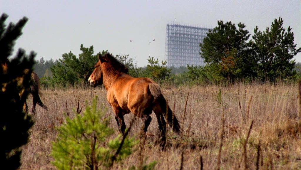 Czarnobyl, koń Przewalskiego